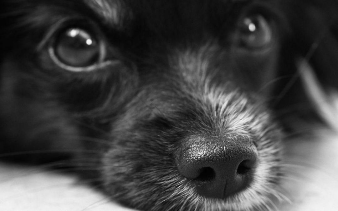 Verlatingsangst bij honden.